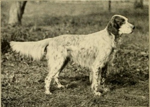 English_setter_-_Laverack_bloodline