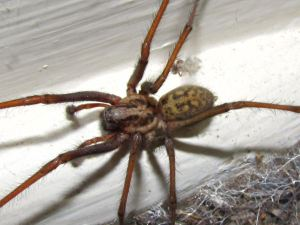 giant-house-spider